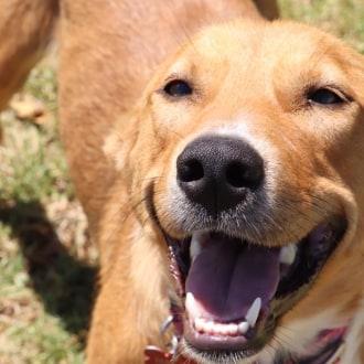 Medium Female Kelpie x Whippet Dog