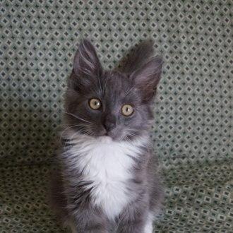 Male Domestic Medium Hair Mix Cat