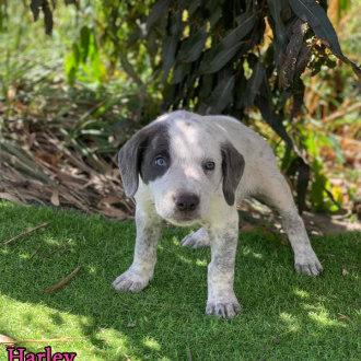 Medium Male Australian Cattle Dog Mix Dog