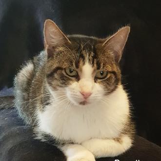 Male Domestic Short Hair Cat