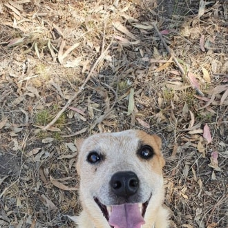 Small Female Parsons Jack Russell Terrier Mix Dog