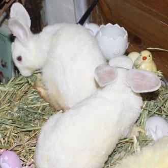 Male Dwarf Mix Rabbit