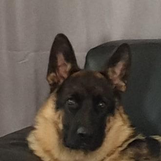 Large Male German Shepherd Dog