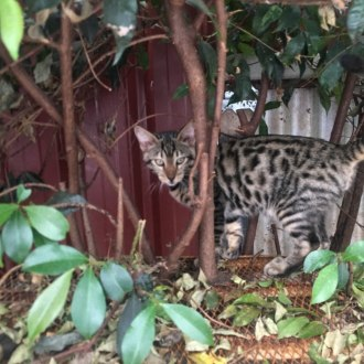 Male Bengal x Domestic Short Hair Mix Cat