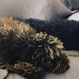Medium Female Poodle Mix Dog