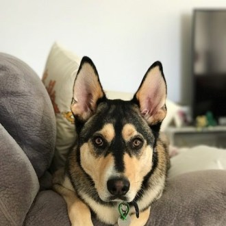 Large Male Husky x Kelpie Mix Dog