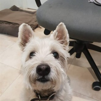 Small Male West Highland White Terrier Mix Dog