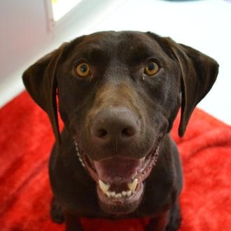 Large Female German Shorthaired Pointer Mix Dog