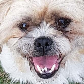 Small Male Maltese Mix Dog