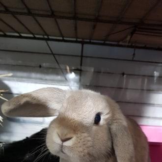 Male English Lop Mix Rabbit