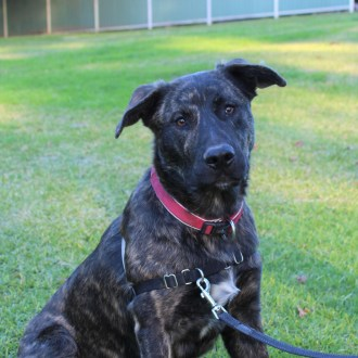 Large Male Dutch Shepherd Mix Dog