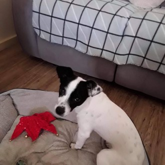 Small Female Jack Russell Terrier Mix Dog