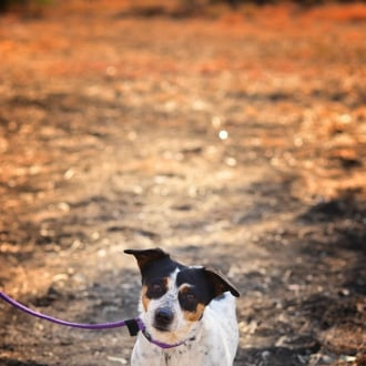 Small Female Fox Terrier Mix Dog