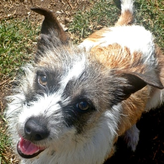 Small Female Jack Russell Terrier Dog