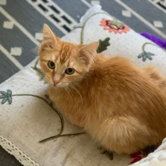 Male Domestic Medium Hair Cat