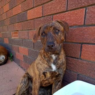 Medium Female Rhodesian Ridgeback x Staffordshire Bull Terrier Mix Dog