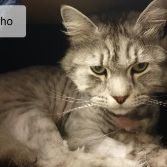 Male Domestic Medium Hair Cat