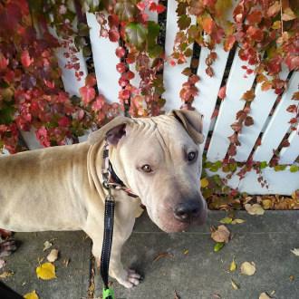 Large Male Shar-Pei Mix Dog