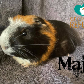 Male Short-hair  Crested Guinea Pig