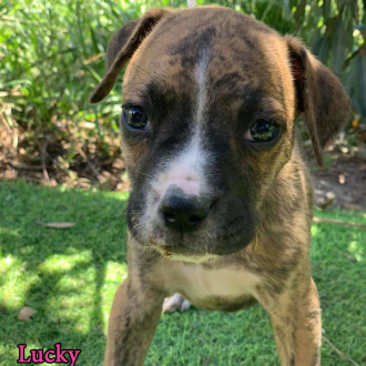 Medium Male Boxer Mix Dog
