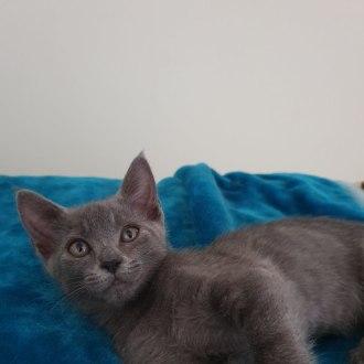 Female Russian Blue Mix Cat