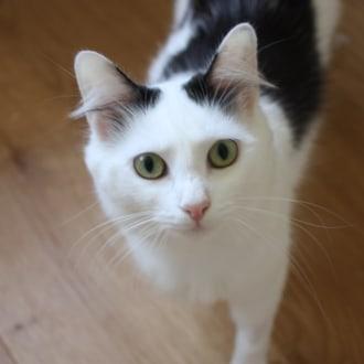 Female Domestic Medium Hair Cat
