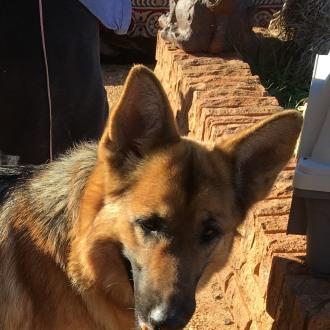 Large Female German Shepherd Dog