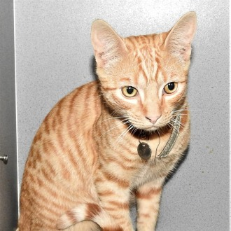 Male Domestic Short Hair Mix Cat