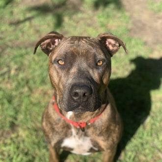 Medium Male American Staffordshire Bull Terrier Mix Dog