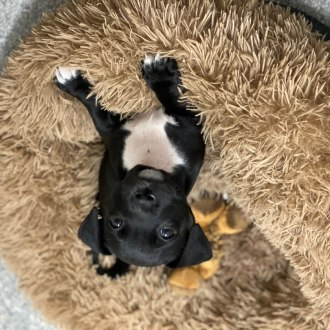 Medium Female Staffordshire Bull Terrier x Corgi Dog