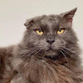Male Domestic Long Hair Cat