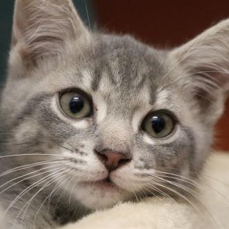Female Domestic Short Hair Mix Cat