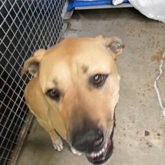 Large Female Bullmastiff x American Staffordshire Bull Terrier Mix Dog