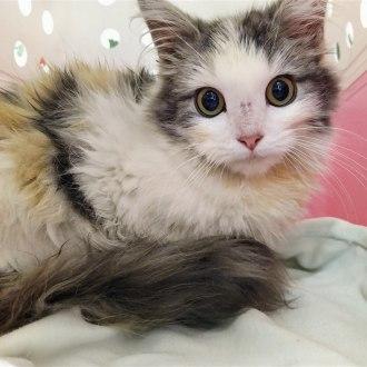 Female Domestic Medium Hair Mix Cat