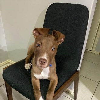 Medium Male Bull Terrier x Kelpie Mix Dog