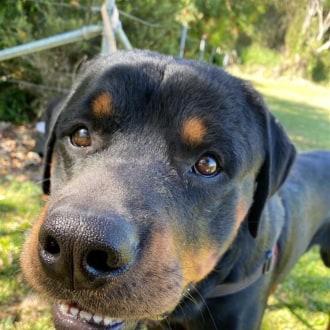 Large Male Rottweiler Dog