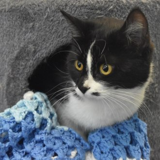 Female Domestic Short Hair Mix Cat