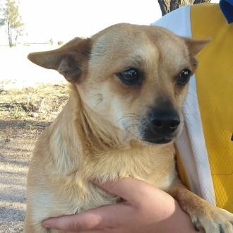 Small Male Chihuahua Mix Dog