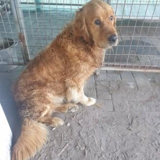 Medium Male Golden Retriever Dog