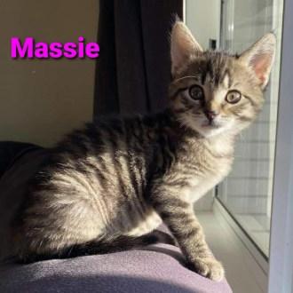 Female Domestic Short Hair Cat
