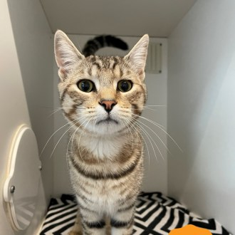 Male Dsh Mix Cat