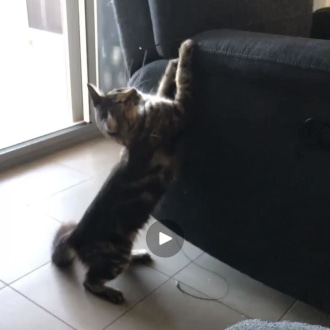 Female Domestic Medium Hair Cat