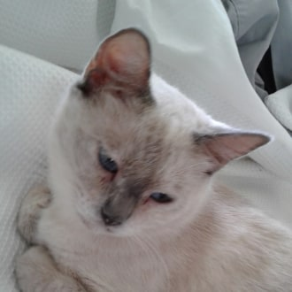 Female Siamese Mix Cat