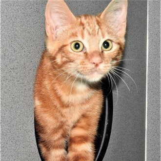 Male Domestic Short Hair Mix Cat