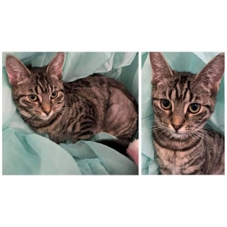 Female Domestic Short Hair Cat
