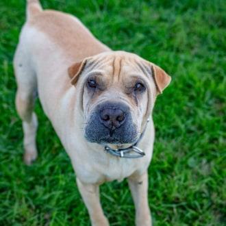 Medium Female Shar-Pei Dog