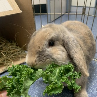 Female Holland Lop Mix Rabbit