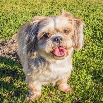 Small Female Maltese x Shih Tzu Mix Dog