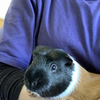 Male Short-hair  Smooth Hair Mix Guinea Pig