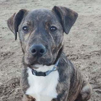 Large Male Staffordshire Terrier Mix Dog